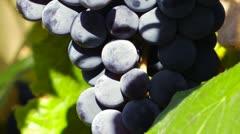 Organic grapes Stock Footage