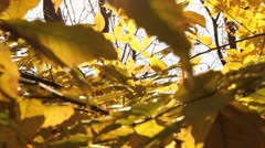 Sun FLares Through Yellow Leaves - stock footage