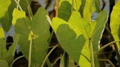 Taro plants close up Stock Footage