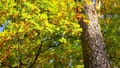 The beautiful varicoloured autumn forest leaves Footage