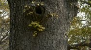 Thick trunk,lush ginkgo tree in breeze,Trunk,forest,woods. Stock Footage