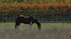 Horse Autumn Meadow Stock Footage