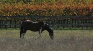 Stock Video Footage of Horse Autumn Meadow