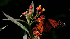 Monarch Butterfly Pollinates Red Flower Stock Footage