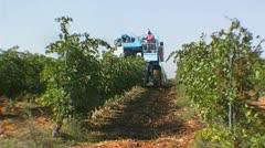 Grape harvesting - NTSC - stock footage