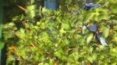 Grape harvesting - stock footage