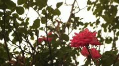 Rose in the fall weather Stock Footage
