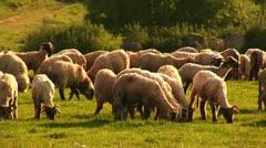 Sheep 1 Stock Footage