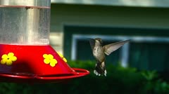 Humming bird drinking from feeder - stock footage