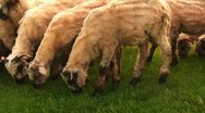 Stock Video Footage of Sheep 2