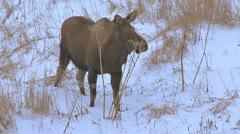 Moose Browsing on Pushki Stalks in Evening 1 Stock Footage