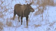 Stock Video Footage of Moose Browsing on Pushki Stalks in Evening 1