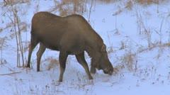 Moose Walking through Snowy Ravine in Evening 1 Stock Footage