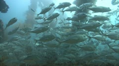 School of silver fish swim through shipwreck Stock Footage