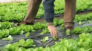 Farmer working in the greenhouse Stock Footage