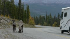 Caribou And Motorhome On Alaska Highway Stock Footage