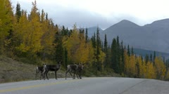 Caribou And Trucks On Alaska Highway - stock footage