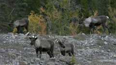 Caribou Group Of Four - stock footage