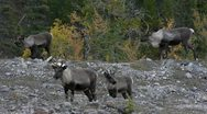 Caribou Group Of Four Stock Footage