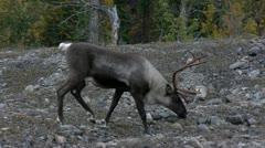 Caribou Walking Stock Footage