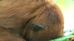 Howler monkey Stock Footage