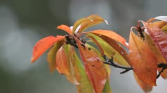 Plum leaves in fall Stock Footage