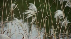 River reeds in wind,shaking wilderness,reflection,Hazy style. Stock Footage