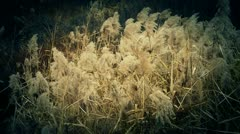 River reeds in wind,shaking wilderness. Stock Footage
