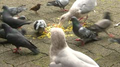 Pigeons and seagulls scavenging and eating food, #1 Stock Footage