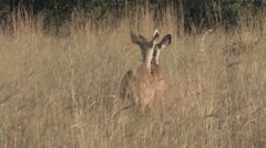Female Kudus Walking Off Stock Footage