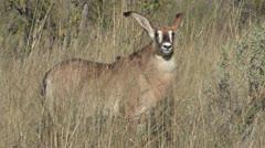 Roan Antelope-2 Stock Footage