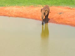 1 African Elephant flaps ears drinking at water hole Stock Footage