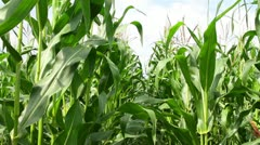 Corn Stock Footage