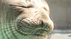 Elephant Seal Close Up Stock Footage