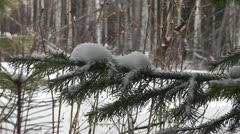 spruce twig - stock footage