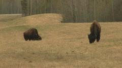 Buffalo American Bison Grazing on Alaska Alcan Highway, Canada Stock Footage