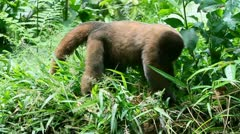 Male wooly monkey searching for insect in Ecuadorian jungle Stock Footage
