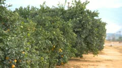 Agriculture, Southern California orange grove, row and road zoom Stock Footage