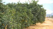 Stock Video Footage of agriculture, Southern California orange grove, row and road zoom