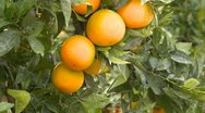 Agriculture, Southern California orange grove, tight shot, Stock Footage
