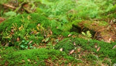 The mountains forest. The moss and fern - stock footage