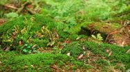 Stock Video Footage of The mountains forest. The moss and fern