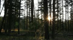 Pine tree forest sunrise slider Stock Footage