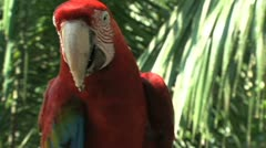 Red-and-green Macaw Stock Footage