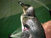 An African Penguin Stock Footage