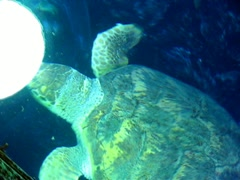 Myrtle the green sea turtle Stock Footage