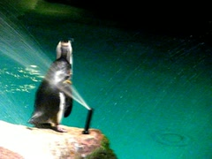 An African Penguin rock hopping at aquarium Stock Footage