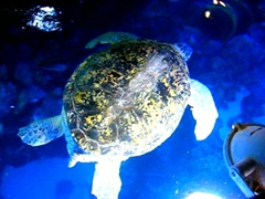 Giant sea turtle, Myrtle Stock Footage