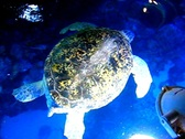 Giant sea turtle, Myrtle Stock Footage