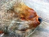 Northern fur seal sleeping Stock Footage